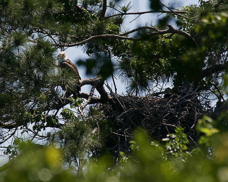 Female is perched on a limb outside the northwest corner of the nest.  The two chicks are perched in a depression in the floor at the south side of the nest opposite the adult.