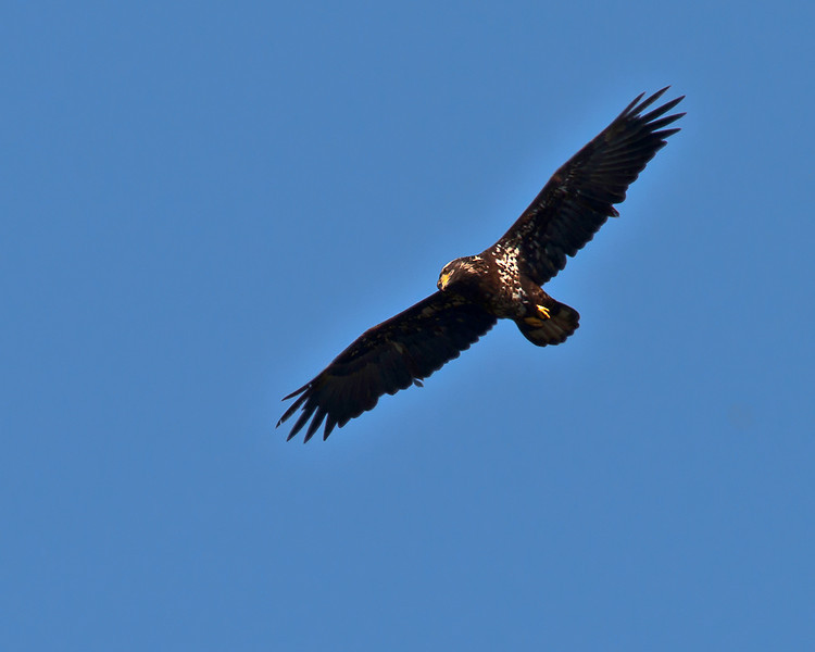 Juvenile Bald Eagle soaring over the nest of the Baytown, TX nesting pair on Tri-City Beach Road.