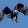 Male Baytown Bald Eagle in flight.  Shot 010312.