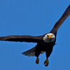 Adult bald eagle in-flight.  Now is the time to hold on to your hat.