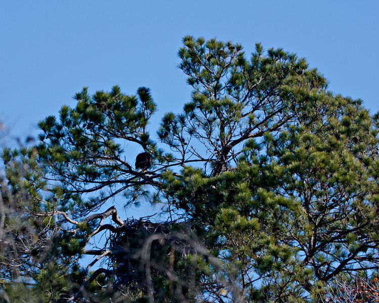 Adult Bald Eagle perched above the nest that is 170 yards into the woods east of Tri-City Beach Road in Baytown, TX.  There was no evidence that the female was down in the nest on eggs.  Later I saw what appeared to be the second adult off in the distance at the same time I saw the adult in this frame.  Don't believe mating has occurred yet.