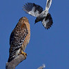 A hawk should no better than to perch too close to a Mocking Bird's nest.