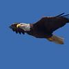 Baytown Bald Eagle shot in 011312.