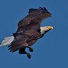 Adult bald eagle in-flight.