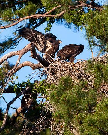"""Bald Eagle """"Eaglets"""""""