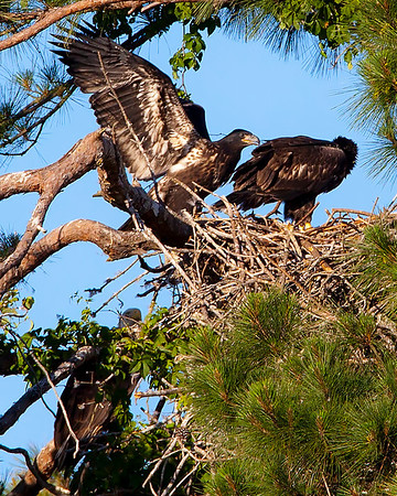 Eaglets trying out wings under close watch by Mom on lower left...........