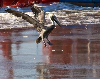 Pelican ice. Now on display @ the Beach Pub