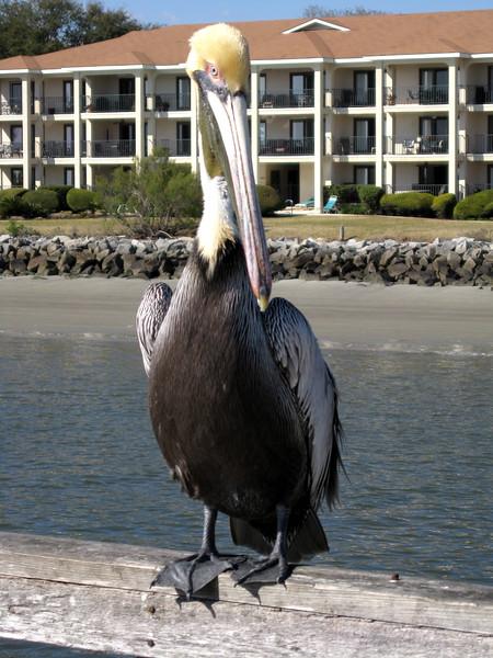 Pelican<br /> St. Simons Island, GA