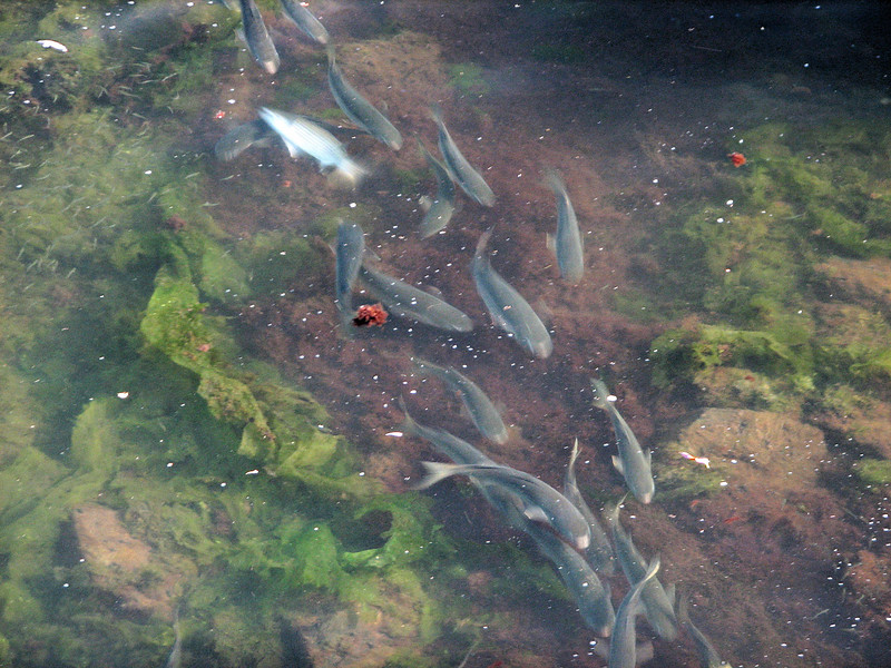 Striped mullet in the Rose Creek estuary.
