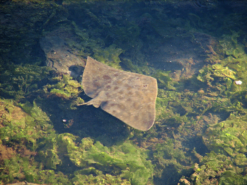 The butterfly ray searches the bottom over green algae.