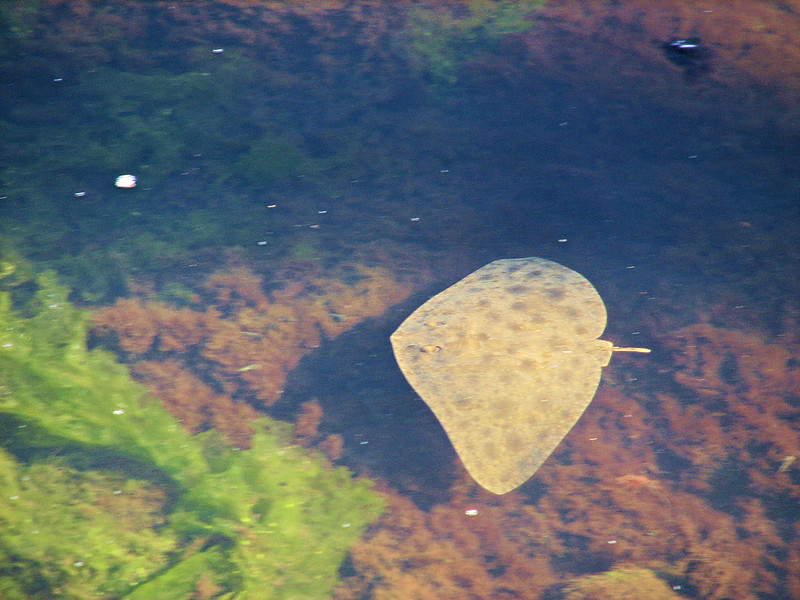 Butterfly ray.
