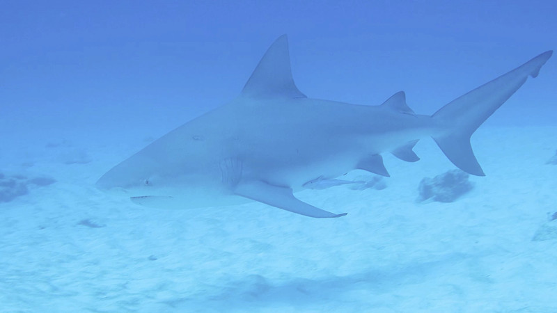 Diving with Bull Sharks in Playa Del Carmen Video