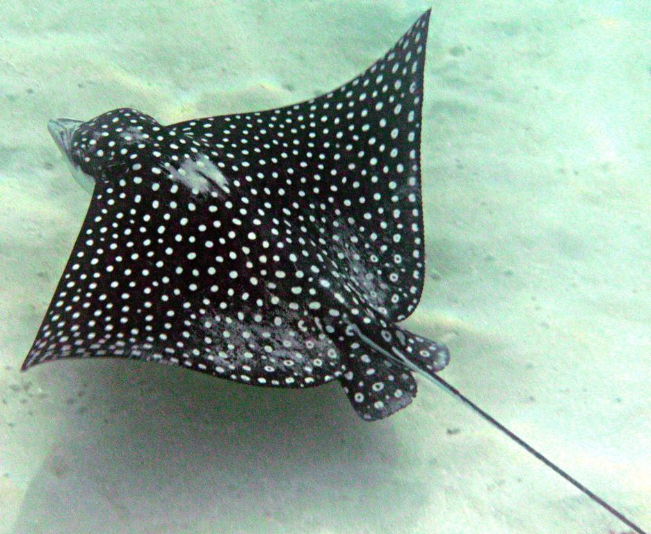 Snorkeling at Carlos Rosario Beach-Culebra-Spotted Eagle Ray
