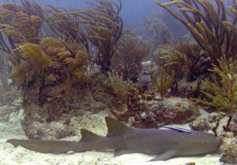 Nurse Shark- Diving with Culebra Divers-Culebra