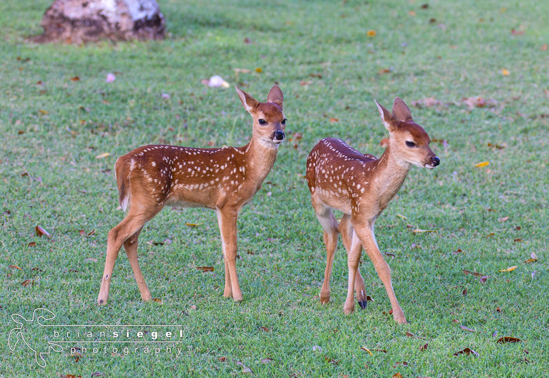 Baby Deer at Caneel Bay Resort, St. John USVI