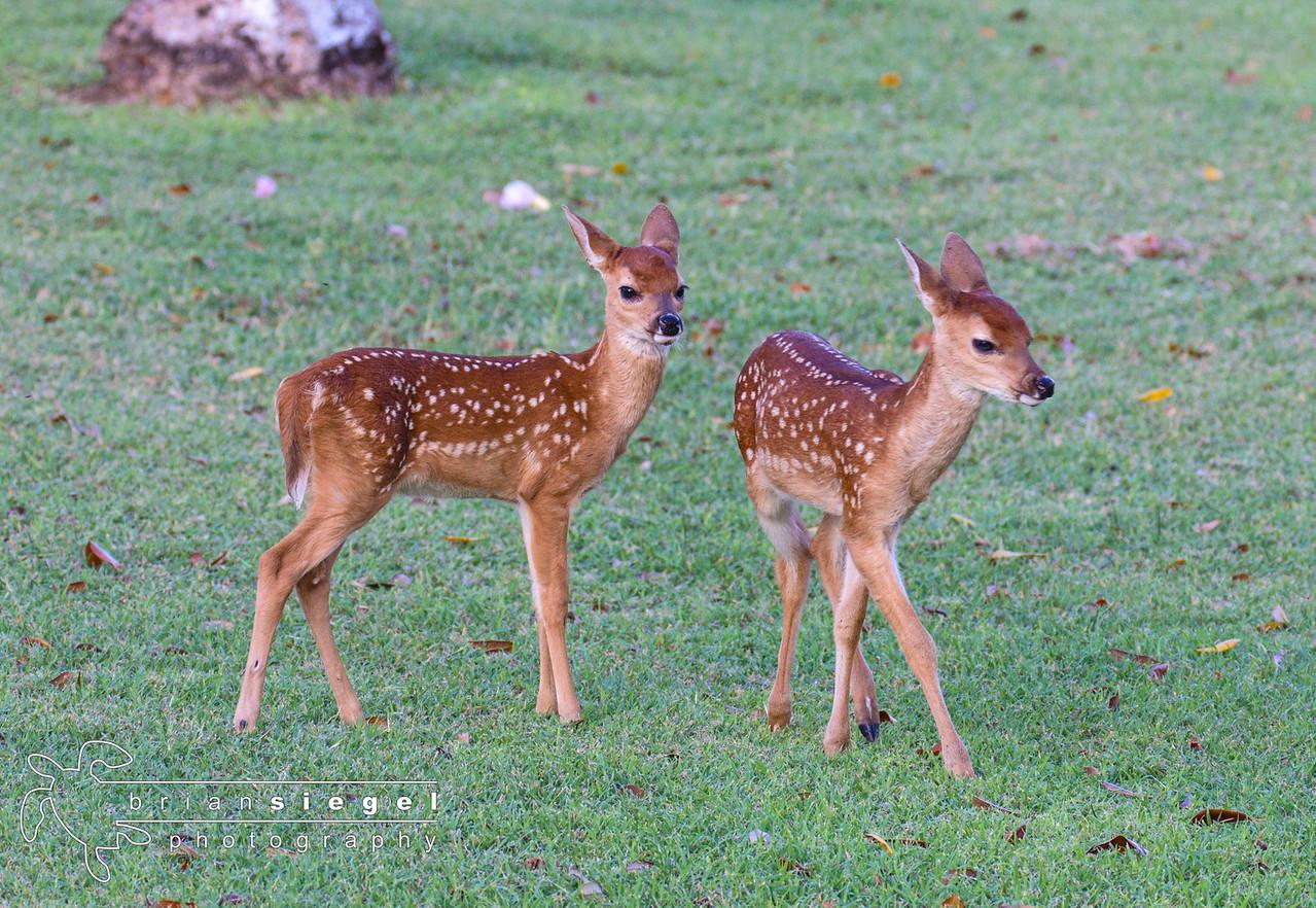Baby Deer at Caneel Bay Resort, St. John USVI