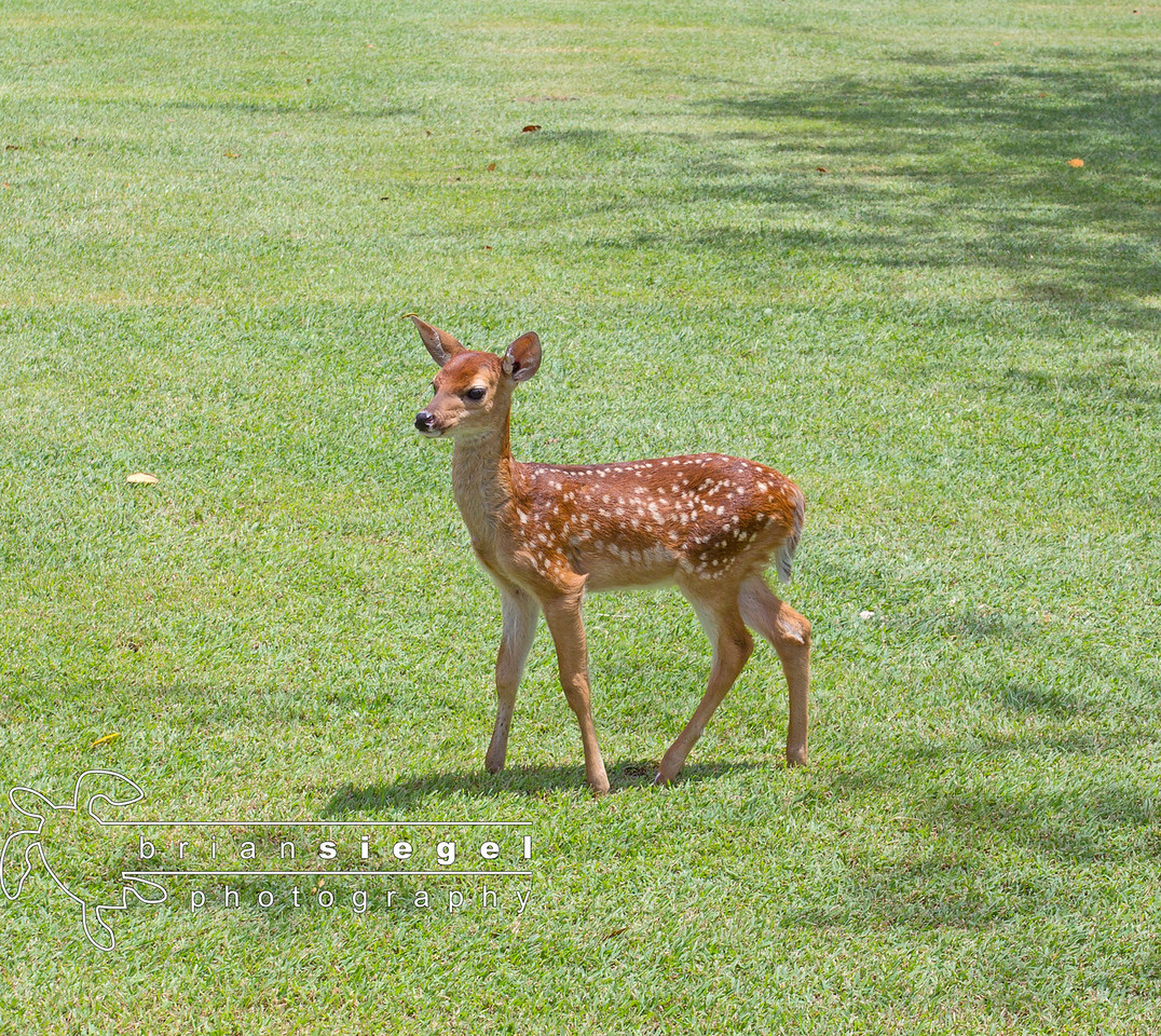 Baby Deer at Caneel Bay Resort, St. John, USVI
