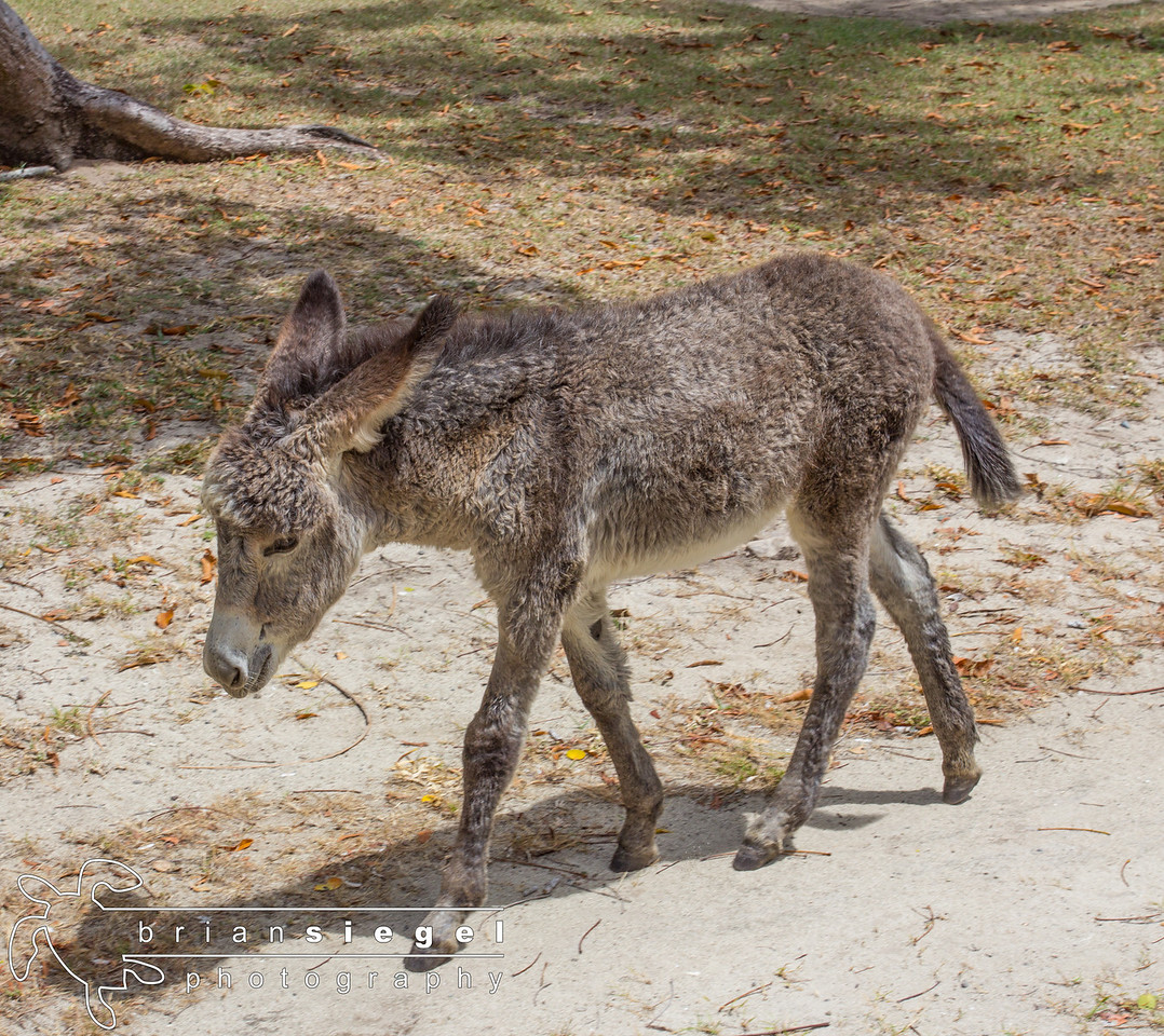 Precious the Baby Donkey at Caneel Bay Resort.