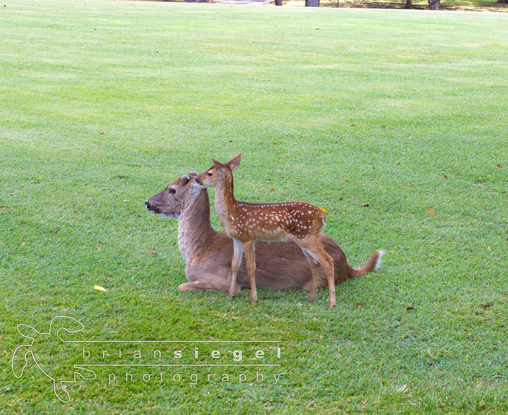 Baby Deer and Mama at Caneel Bay Resort