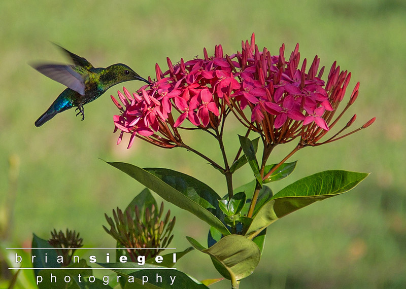 Hummingbird at Caneel Bay