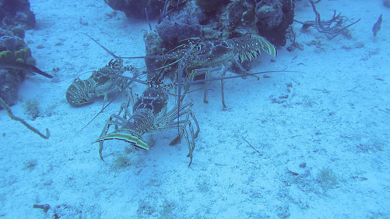 Video of 2 Lobsters fighting over their Gal with Patagon Divers out of Caneel Bay.