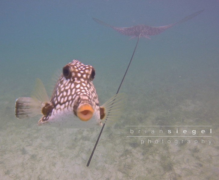 Protective Trunkfish
