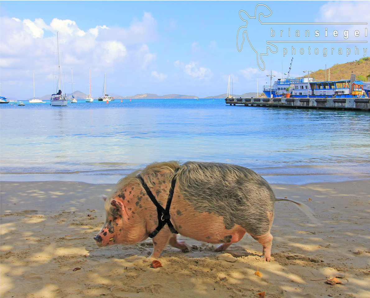 Ziggy the Pig, Cruz Bay St. John
