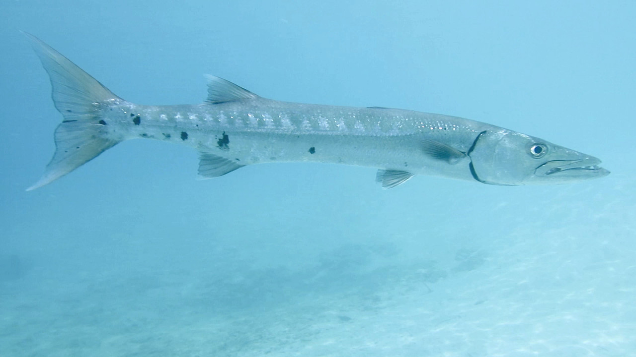 Video of Barry The Barracuda