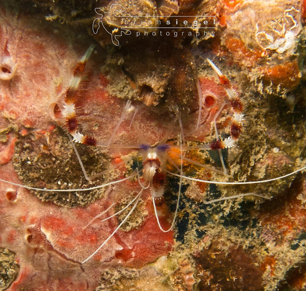 Cleaner Shrimp..
