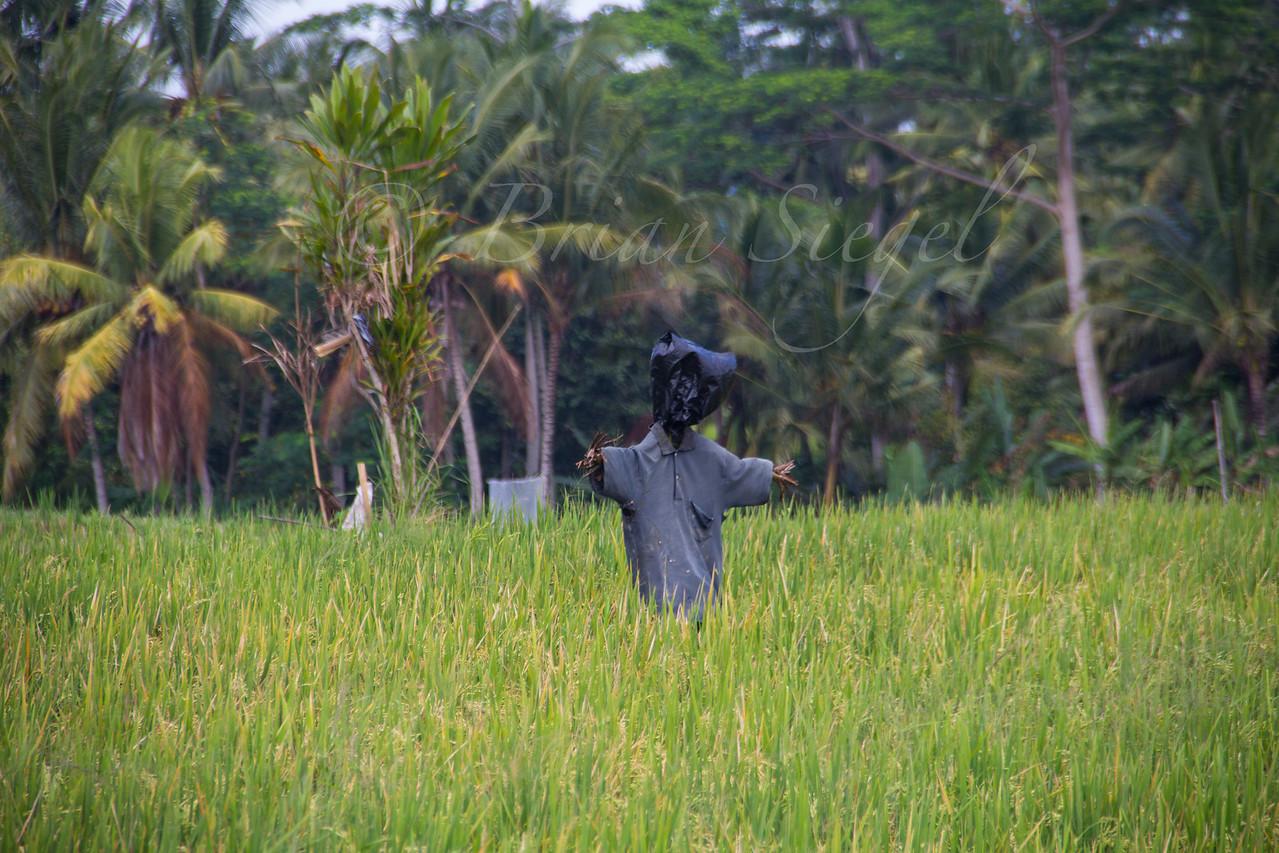 Ubud, Bali, Indonesia. Rice Field