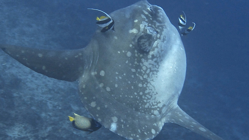 Mola Mola Video-Click on image above