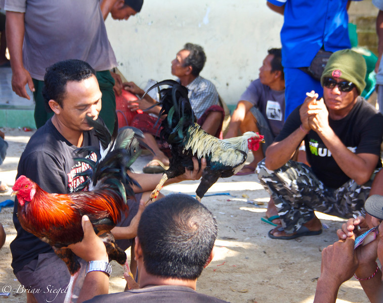 Cock Fighting. Nusa Lembongan.
