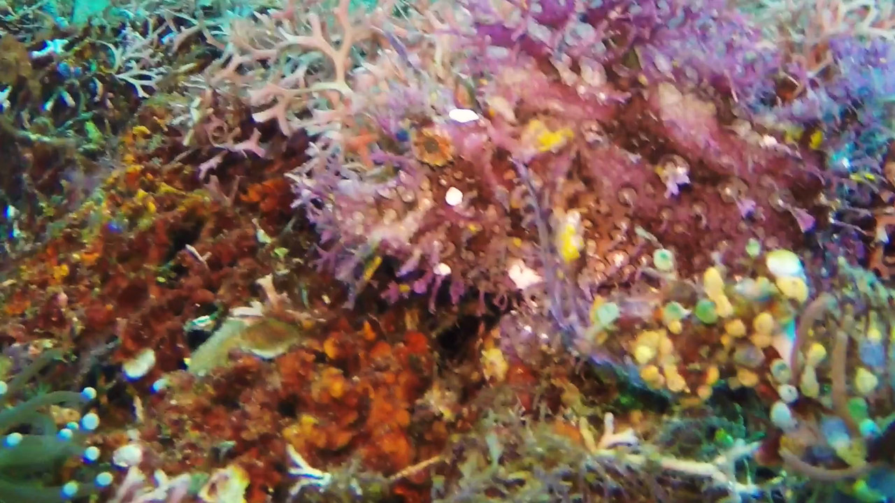Purple Rhinopias eating  (purple leafy scorpionfish, rhinopias frondosa)