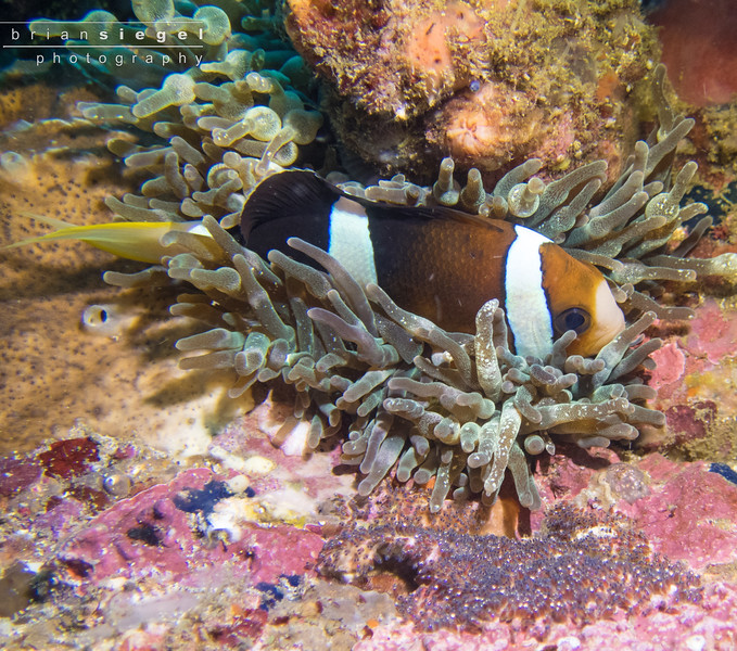 Anemone (Clown) Fish guarding its eggs