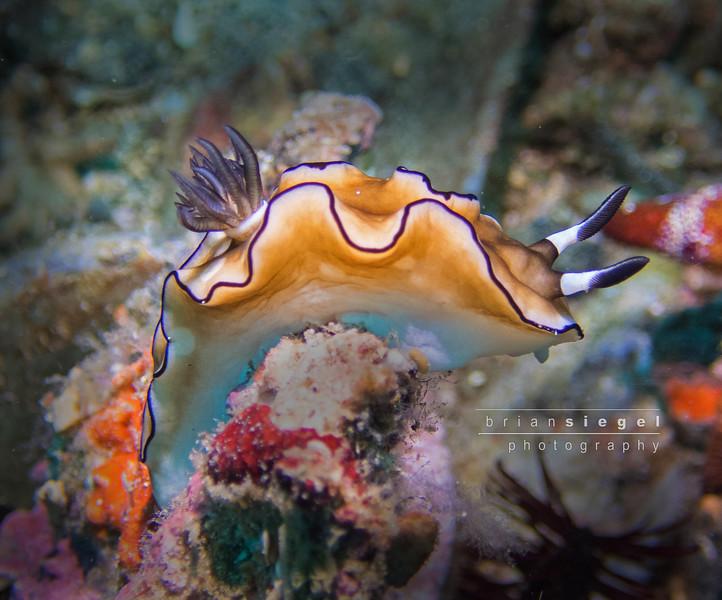 Glossodoris Atromarginata