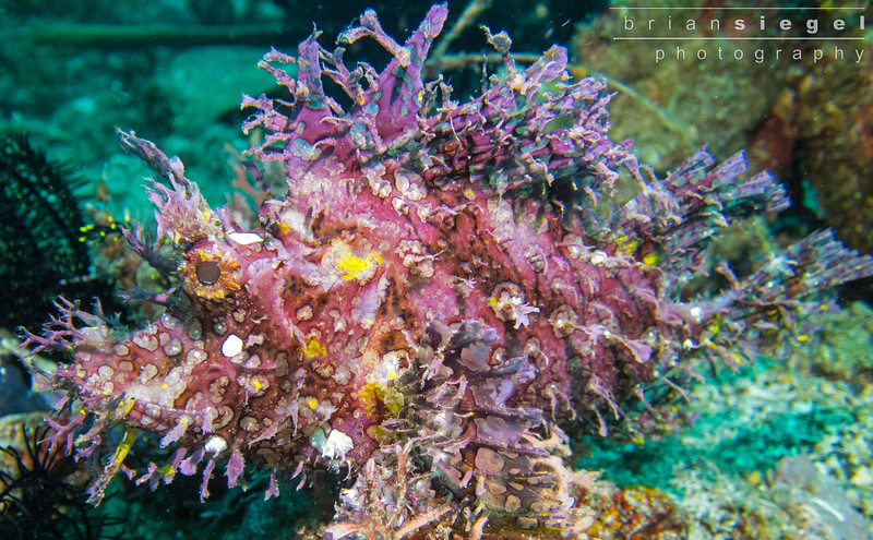 Purple Rhinopias aka Purple Leafy Scorpionfish (Rhinopias Frondosa