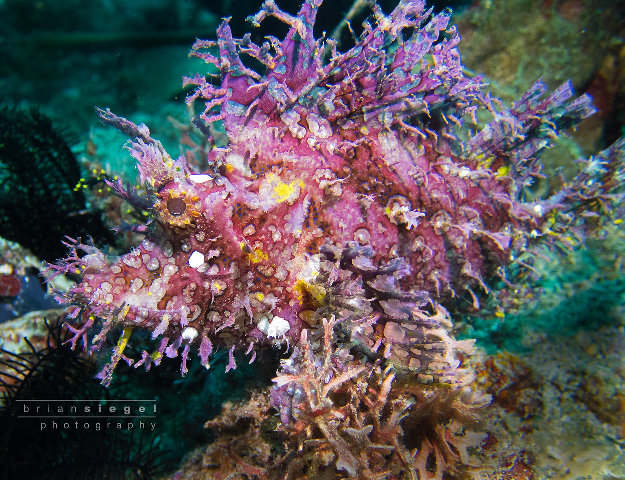 Purple Rhinopias AKA Purple Leafy Scorpionfish AKA Rhinopias Frondosa