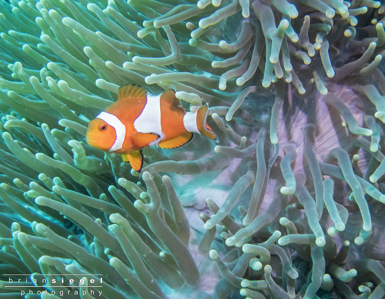 Anemone (Clown) Fish
