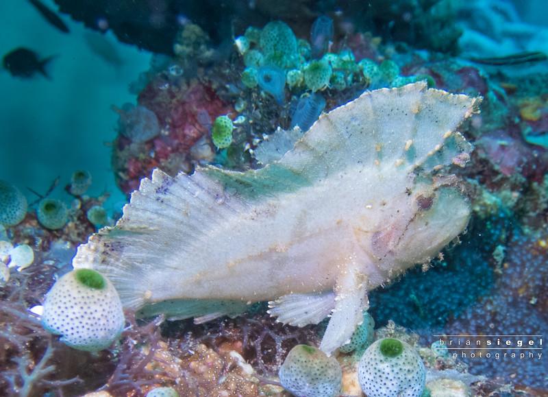 White Leafy Scorpionfish