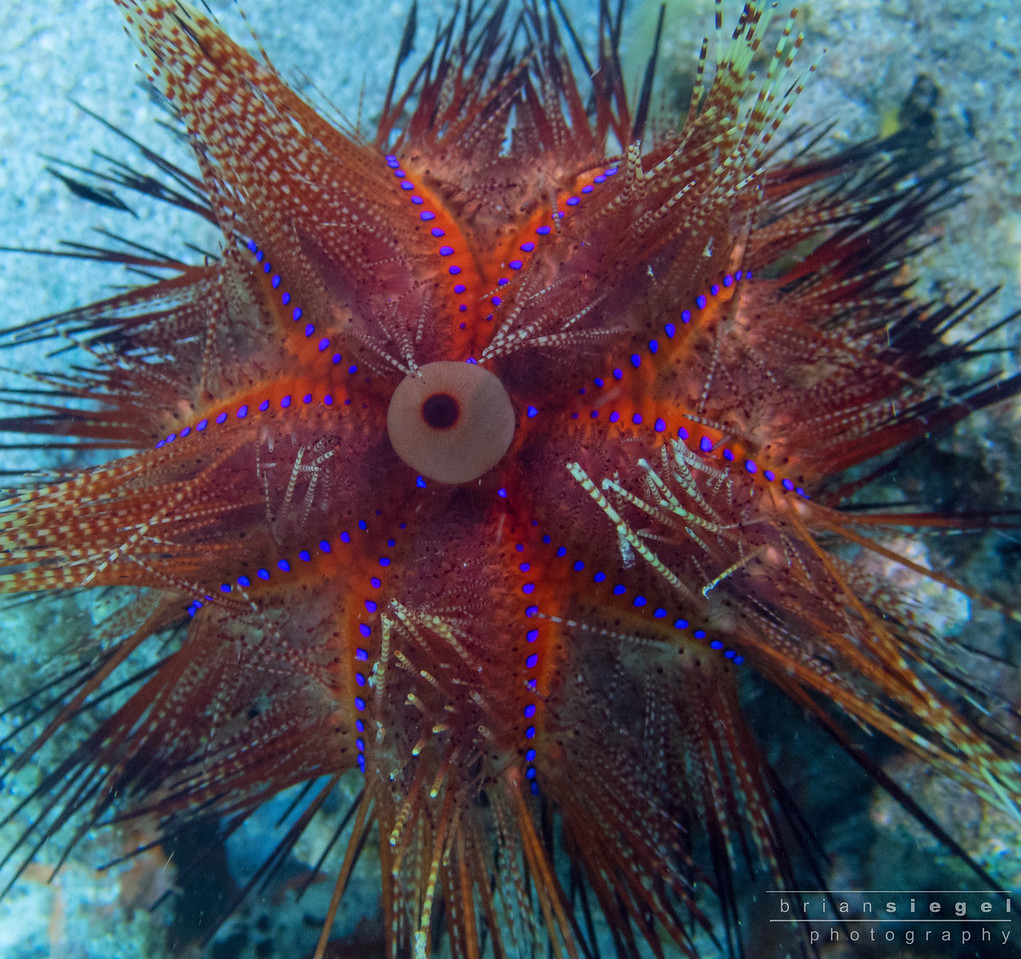 Star Urchin
