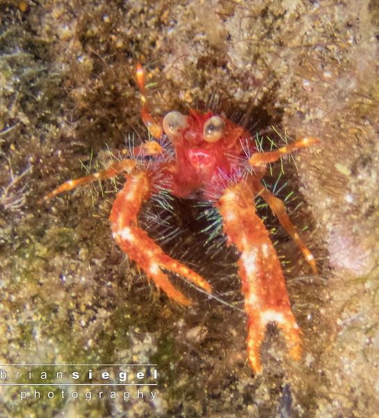 Bug Eyed Squat Lobster