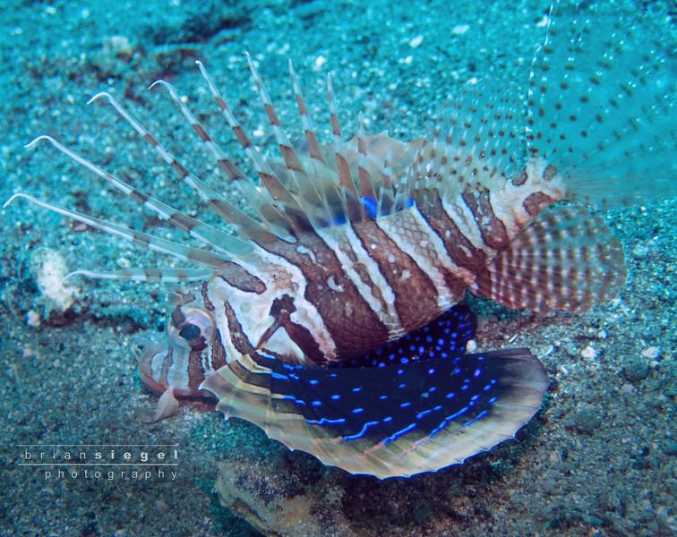 Gurnard Lionfish
