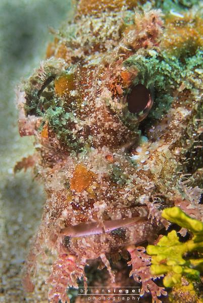Scorpion Fish Face