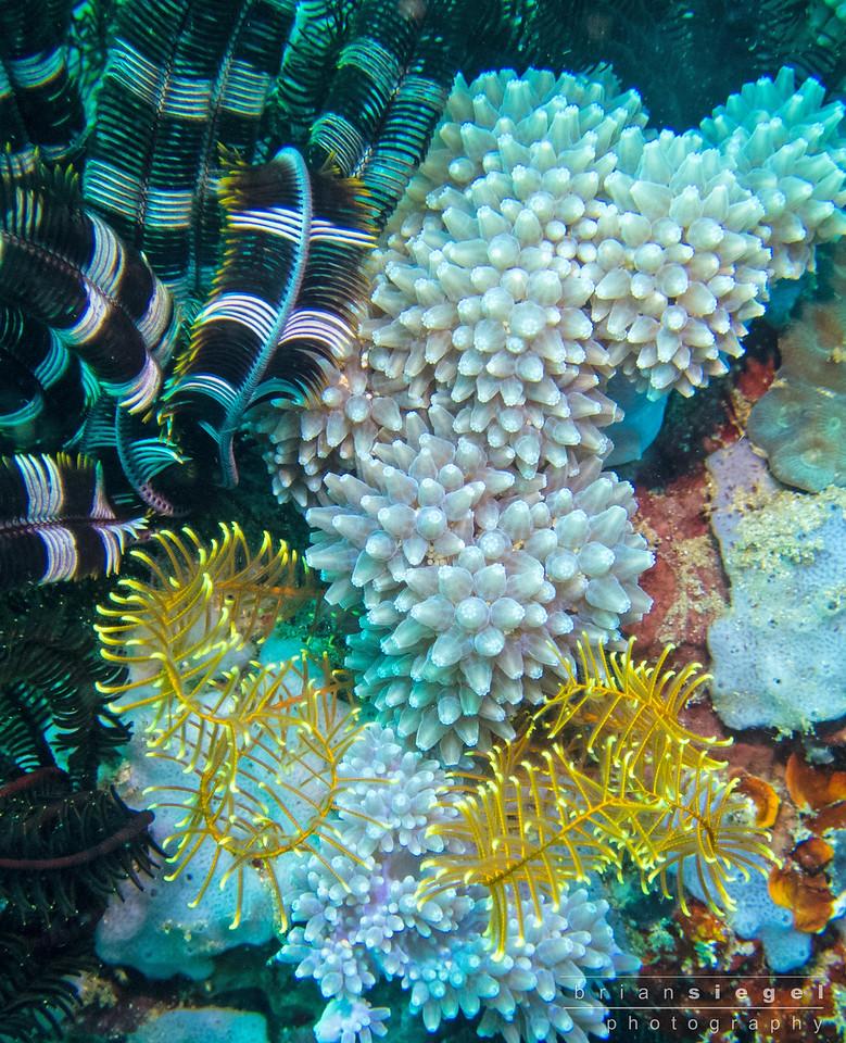 Pretty Coral