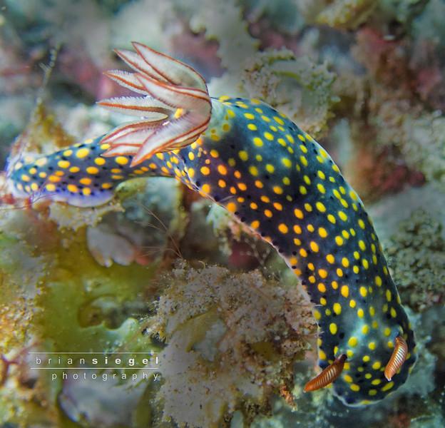 Hyselodoris Kanga