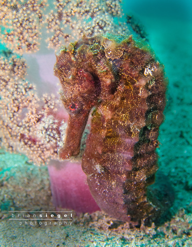 Beautiful Seahorse