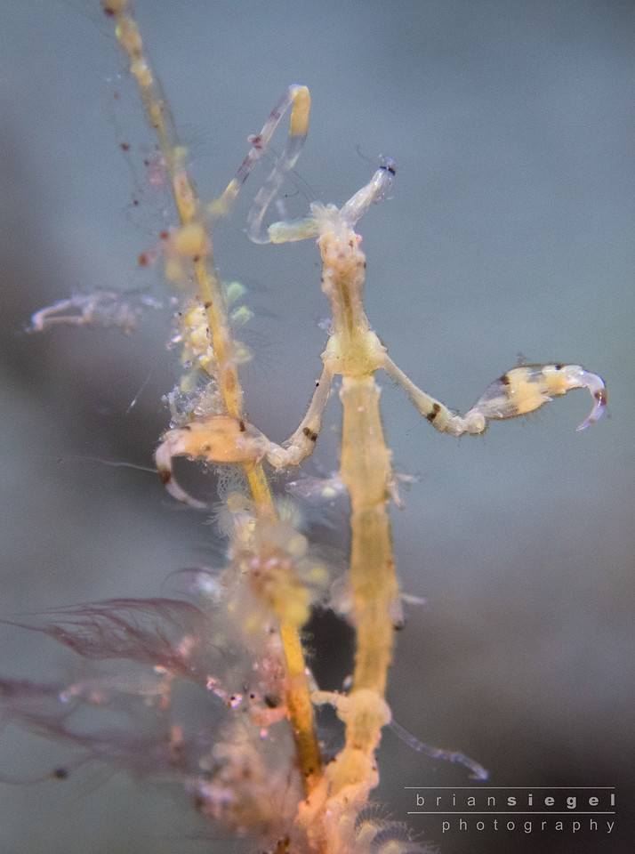 Skeleton Shrimp