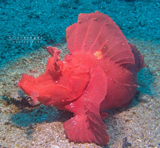 Red Rhinopias / Eschmeyer's Scorpionfish / Rhinopias Eschmeyeri /Paddle-Flap Scorpionfish
