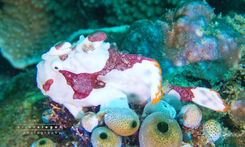 Juvenile Warty Frogfish