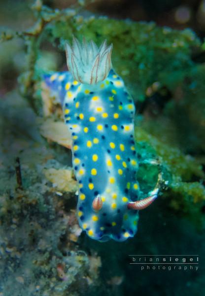 Hyselodoris Infucata